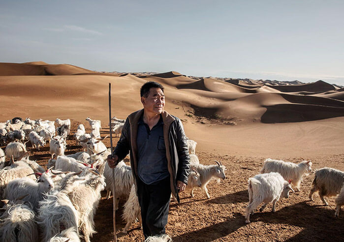 Flock of goats in Gobi desert